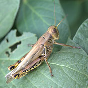 Grasshoppers, Mole Crickets & Mormon Crickets