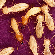 Termite Control With Beneficial Nematodes And Natural