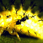 Mexican Bean Beetle Parasite, Pediobius foveolatus