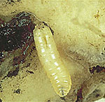Cabbage Root Maggot