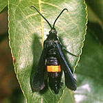 Greater Peach Tree Borer