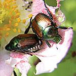 Beetle Mania!