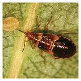 Minute Pirate Bug, Orius insidiosus