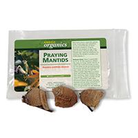Praying Mantid Egg Cases