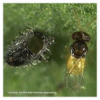 Whitefly Parasite