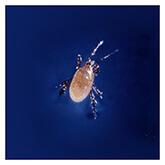 Stratiolaelaps scimitus (=Hypoaspis miles)