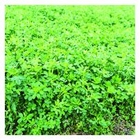 Organic Alfalfa Seeds, Non-Dormant
