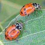 Ladybugs - 1,500 Ladybugs, <i>Hippodamia convergens</i> - Starter Size