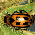 Bean Beetles