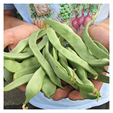 SERO Biodynamic® Seeds - Jumbo Bush Bean