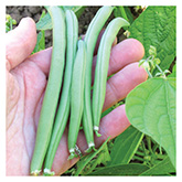 SERO Biodynamic® Seeds - Provider Bush Bean