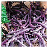 SERO Biodynamic® Seeds - Royalty Purple Pod Bean