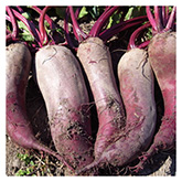 SERO Biodynamic® Seeds - Formanova Beet
