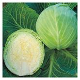 SERO Biodynamic® Seeds - Dottenfelder Dauer Cabbage