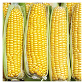 SERO Biodynamic® Seeds - Tramunt Corn