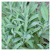 SERO Biodynamic® Seeds - Sage