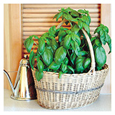 SERO Biodynamic® Seeds - Sweet Basil