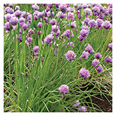SERO Biodynamic® Seeds - Chives