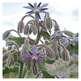 SERO Biodynamic® Seeds - Borage