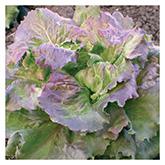 SERO Biodynamic® Seeds - Grandpa's Butterhead Lettuce