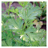 SERO Biodynamic® Seeds - French Parsley