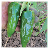 SERO Biodynamic® Seeds - Ancho Poblano Pepper