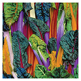 SERO Biodynamic® Seeds – Five Color Silverbeet Swiss Chard