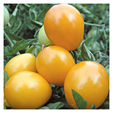 SERO Biodynamic® Seeds - Gold Nugget Cherry Tomato