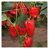 SERO Biodynamic® Seeds - Jubilandska Pepper