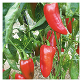 SERO Biodynamic® Seeds - Rosso Pepper