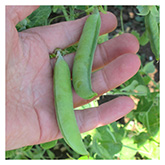 SERO Biodynamic® Seeds - Alaska Early Pea