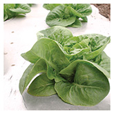 SERO Biodynamic® Seeds - Little Gem Lettuce