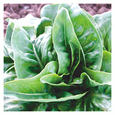 SERO Biodynamic® Seeds - Green Deer Tongue Lettuce