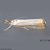 Scentry Group A Lures - Cranberry Girdler/Sod Webworm