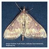Scentry Gp A Lures - European Corn Borer (NY Strain)