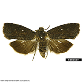 Scentry Group A Lures - Oriental Fruit Moth