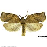 Scentry Grp B Lures - Obliquebanded Leafroller