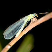 Green Lacewing - Eggs, Larvae, Adults